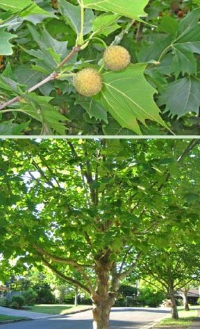 the north american sycamore tree The sycamore tree - nature and nurture combined the american sycamore tree a natural history of north american trees.