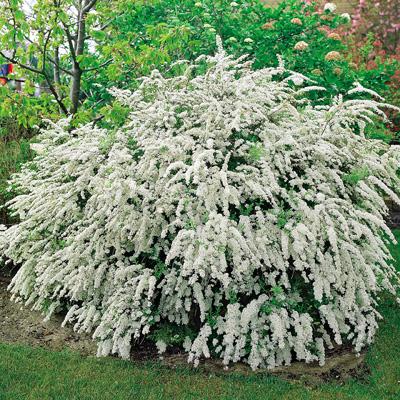 Bridal Veil Bush