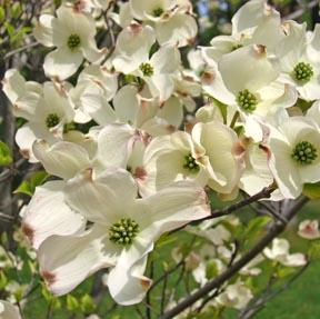 Flowering white dogwood tree