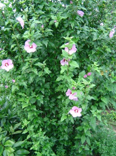 rose of sharon planting instructions