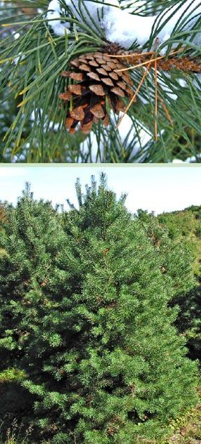 Buy trees and shrubs online for less scotch pine tree french blue