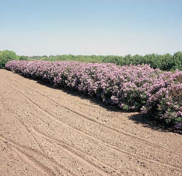 Buy Trees And Shrubs Online For Less : Old Fashioned Lilac