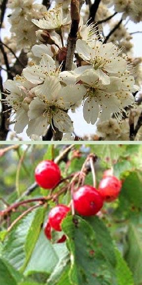cherry tree planting instructions