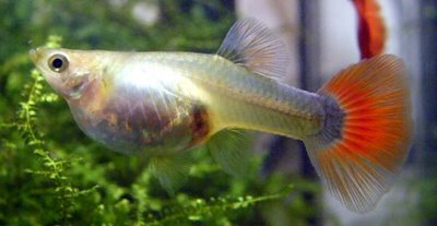 ... 6 Red Half Black Blonde Body Quality Fantail Fancy Guppies