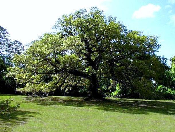 Planting Live Oak Tree Acorns : Texas escarpment live oak acorns quercus fusiformis
