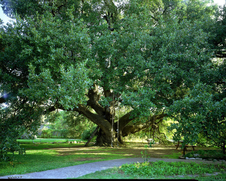Planting Live Oak Tree Acorns : Planting live oak trees in texas images