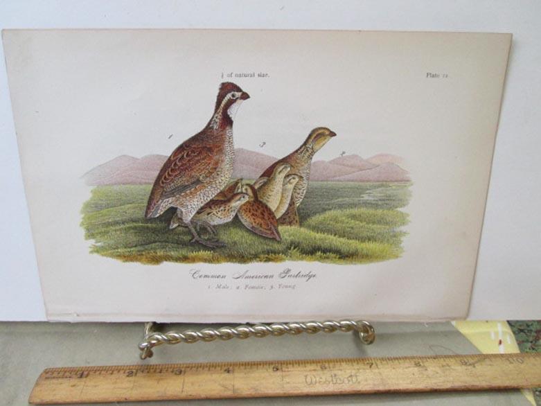 Details about Vintage Print,COMMON AMERICAN PARTRIDGE,Chromo,Birds of  PA,Warren,1888