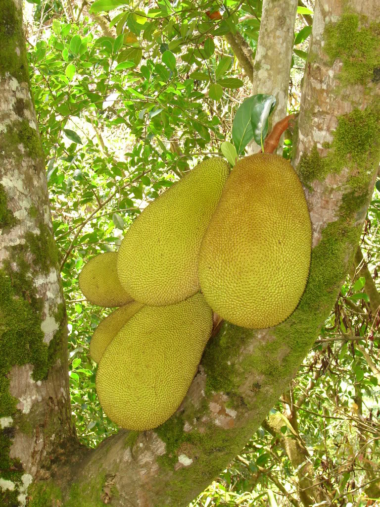 The exterior of the compound JAKFRUIT fruit is green or yellow when ripe. The Jakfruit is oblong in shape, its skin is greenish in color but turns yellowish when ripen. The skin is dimpled,soft and slightly bouncy to the touch.