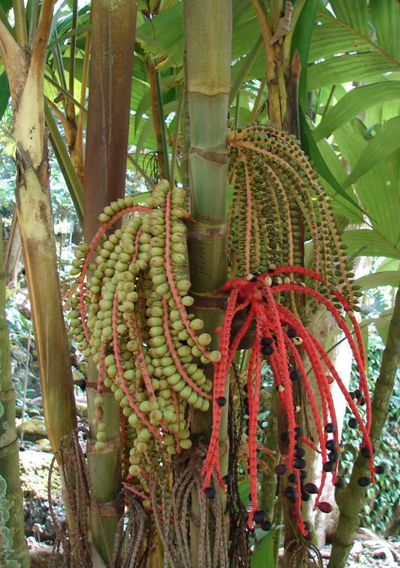 Polynesian Produce Stand Ivory Cane Palm 100 Live Seed