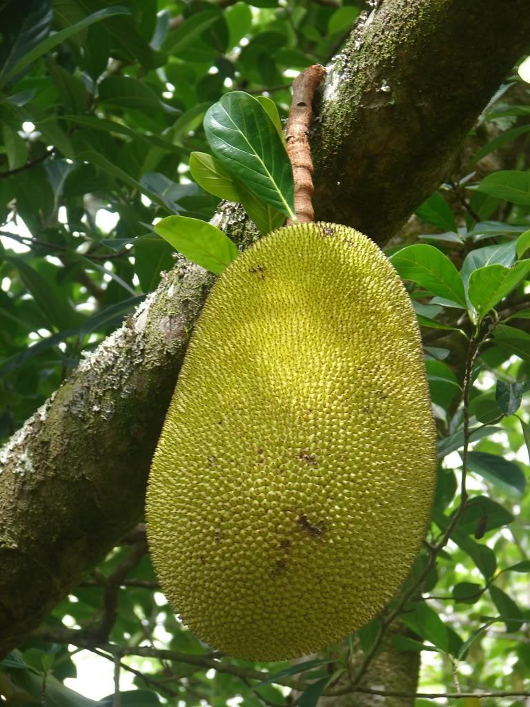 Jackfruit, Jakfruit, Jaca, Nangka.  picture by 7_Heads