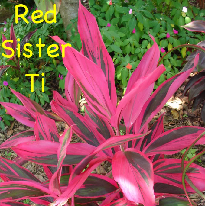 Red Sister Ti      picture by 7_Heads
