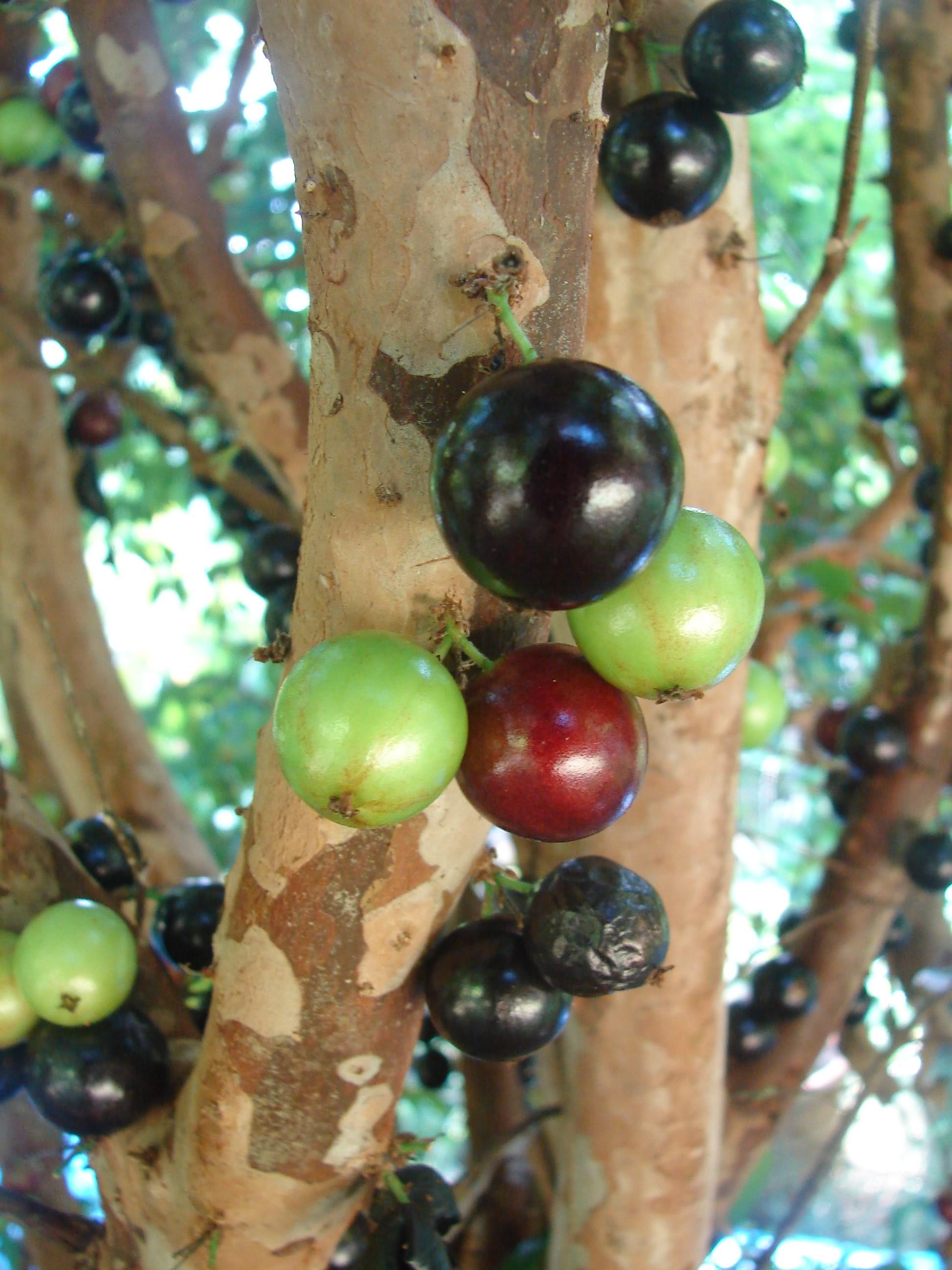 Brazillian Grape Seeds 5 Seeds,Rare Exotic