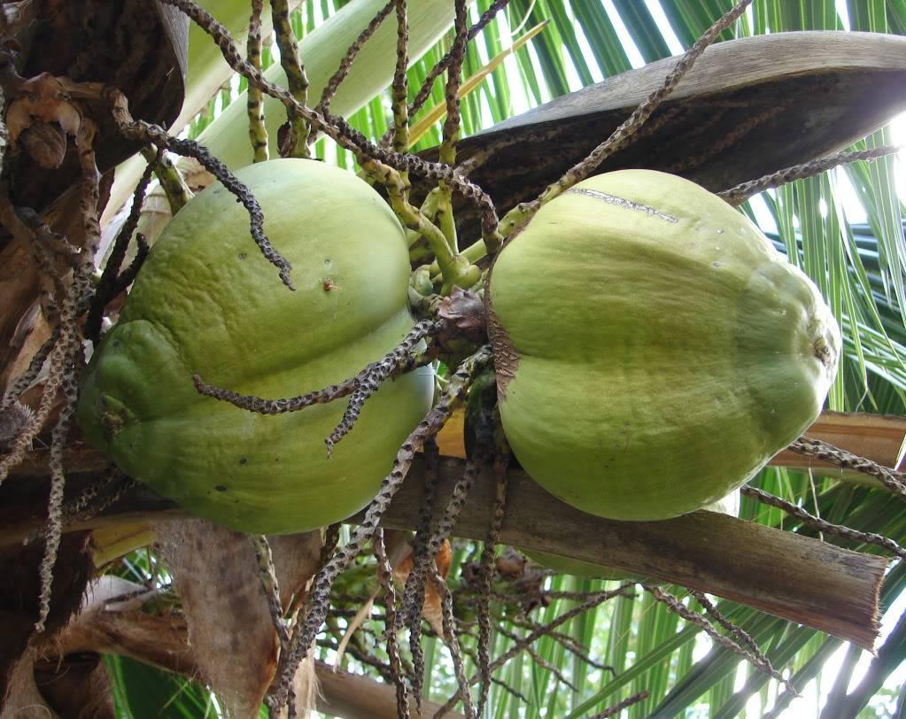 Samoan Dwarf (Niu Leka) Coconut picture by 7_Heads