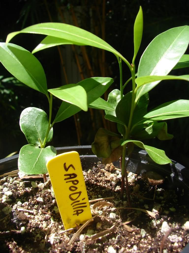 alona sapodilla seedlings for sale