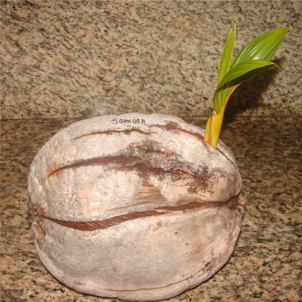 Samoan Dwarf (Niu Leka) Seed picture by 7_Heads