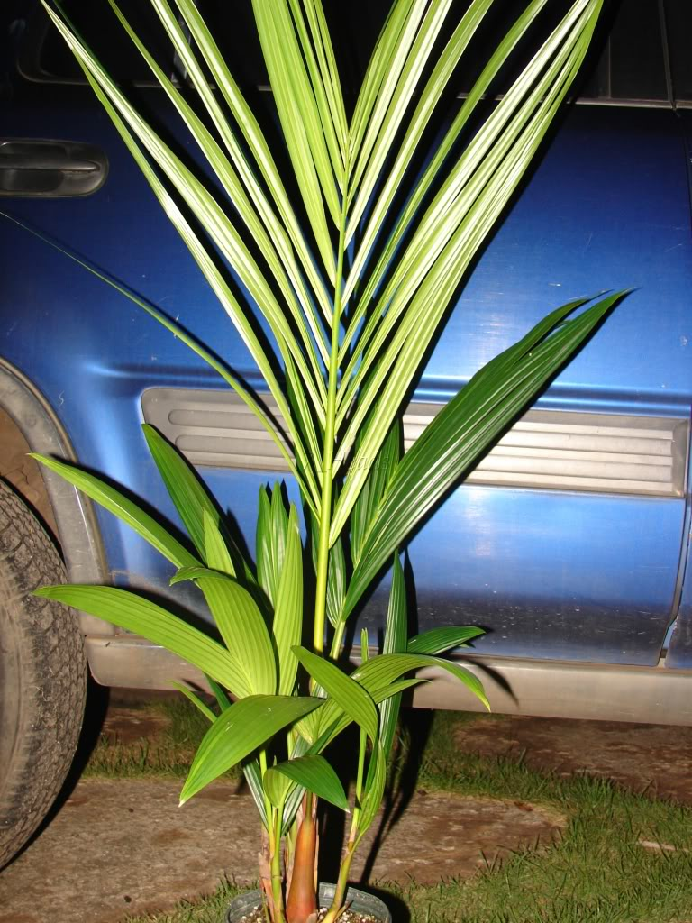 Red Sealing Wax Palm for sale  Cyrotstachys renda  Waist to Shoulder high  picture by 7_Heads