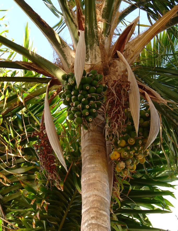 Polynesian Produce Stand : ~PIRIRIMA COCONUT~ Palm Tree ...