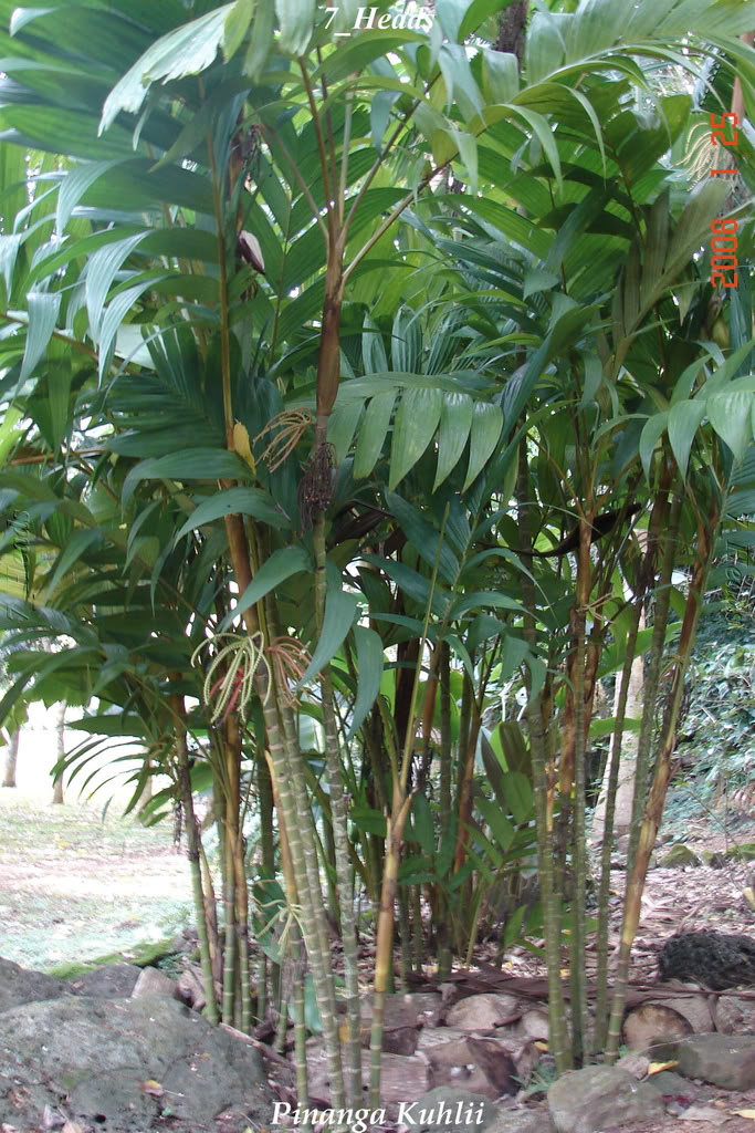Polynesian Produce Stand Big Pinanga Palm Tree Mottled