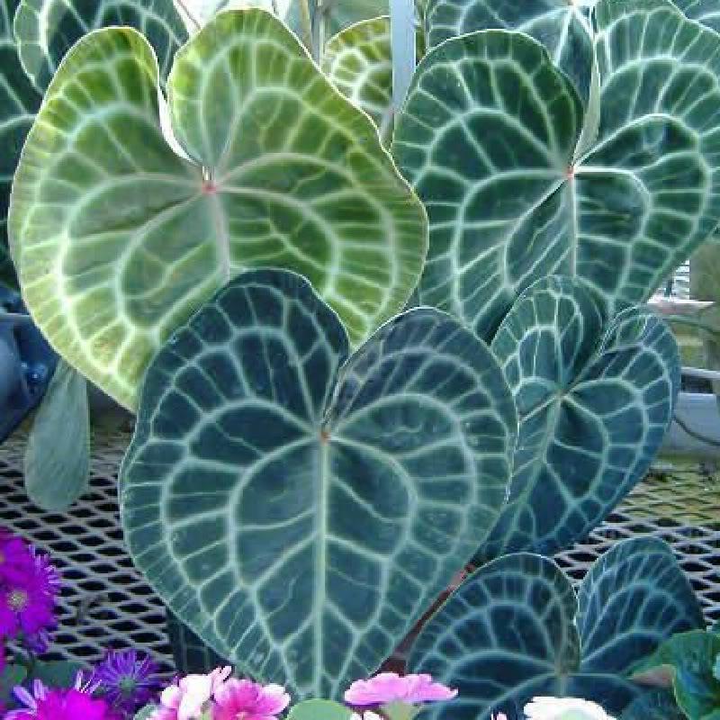 Polynesian produce stand mahani anthurium crystallinum - Anthurium turenza ...