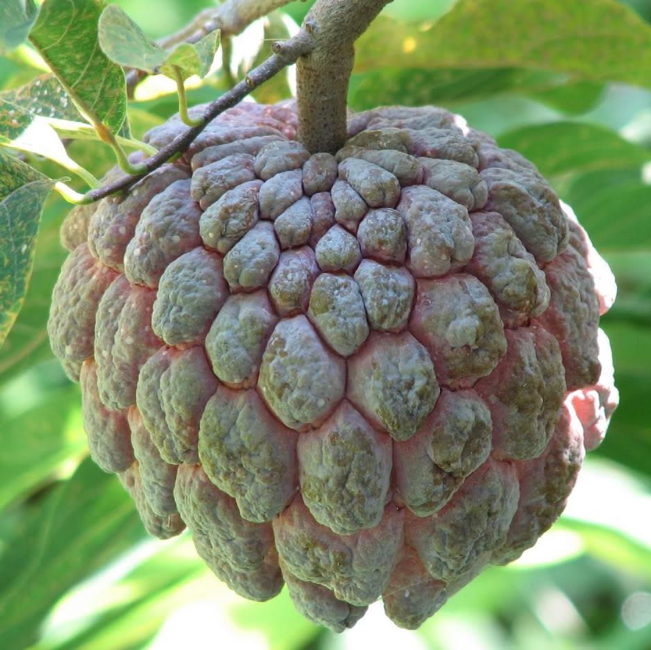 Polynesian Produce Stand : SWEETSOP Annona squamosa SUGER ...