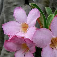 Adenium Arabium Flowers