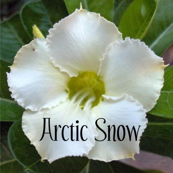 Adenium obesum 'Artic Snow'