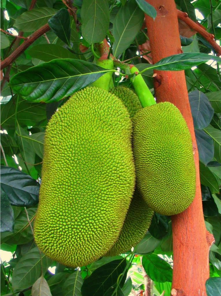 Jakfruit  World's Largest Fruit Artocarpus heterophyllus