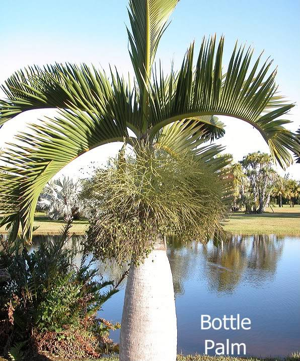 Bottle Palm picture by 7_Heads