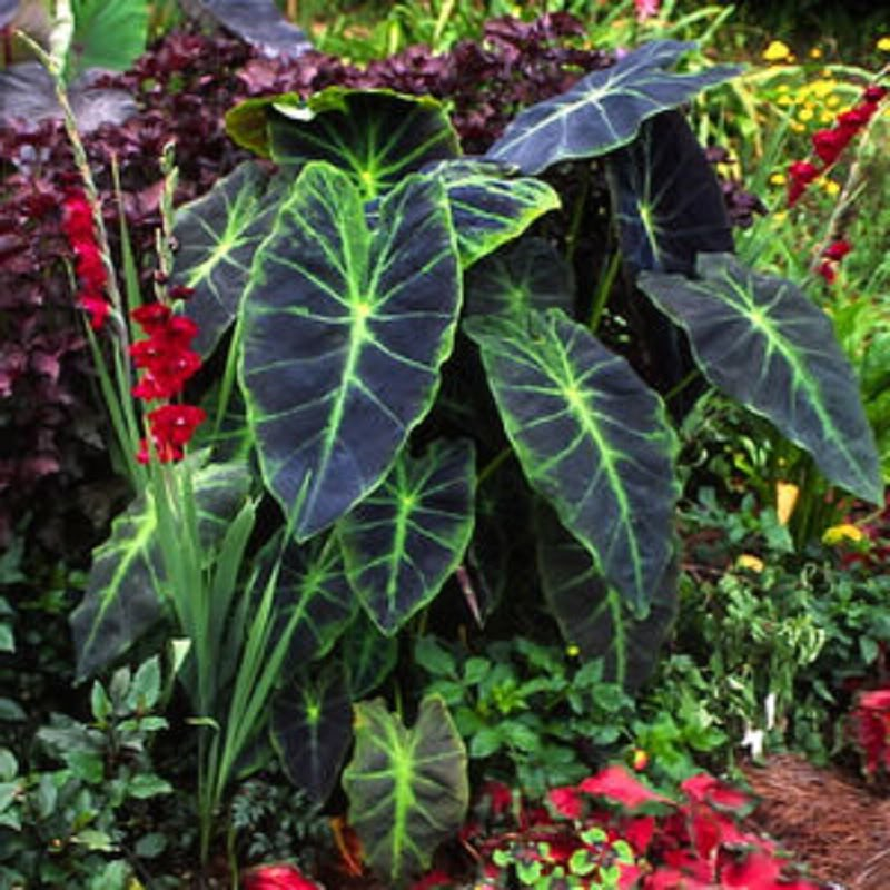 polynesian produce stand imperial taro colocasia esculenta illustris ornamental elephant ear. Black Bedroom Furniture Sets. Home Design Ideas