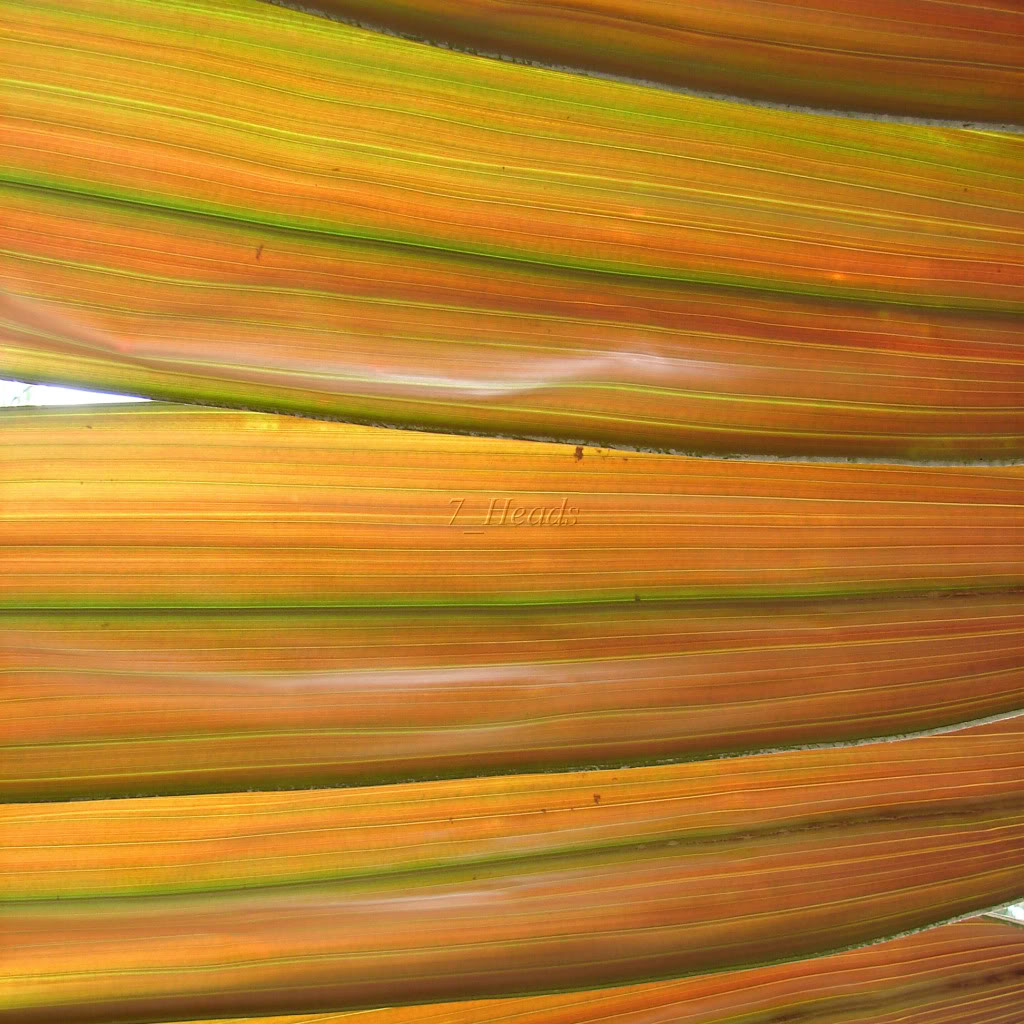 Chambeyronia hookeri Leaf