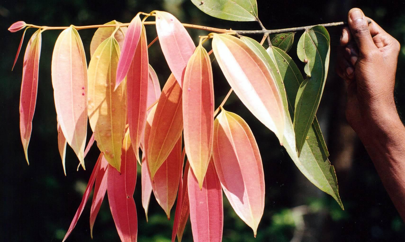 Φύλλα κανέλας
