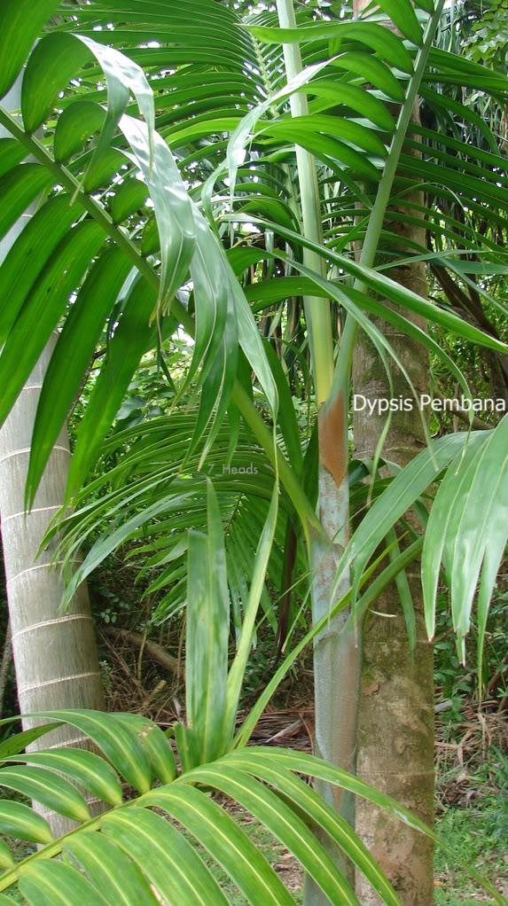 Mpapindi Palm