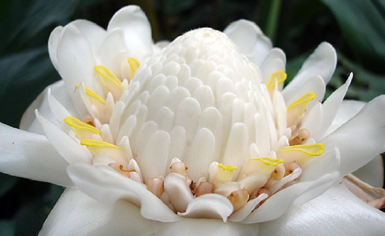 Polynesian Produce Stand White Torch Ginger Collectors