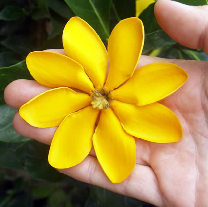 polynesian produce stand  live transvaal gardenia seedling, Beautiful flower