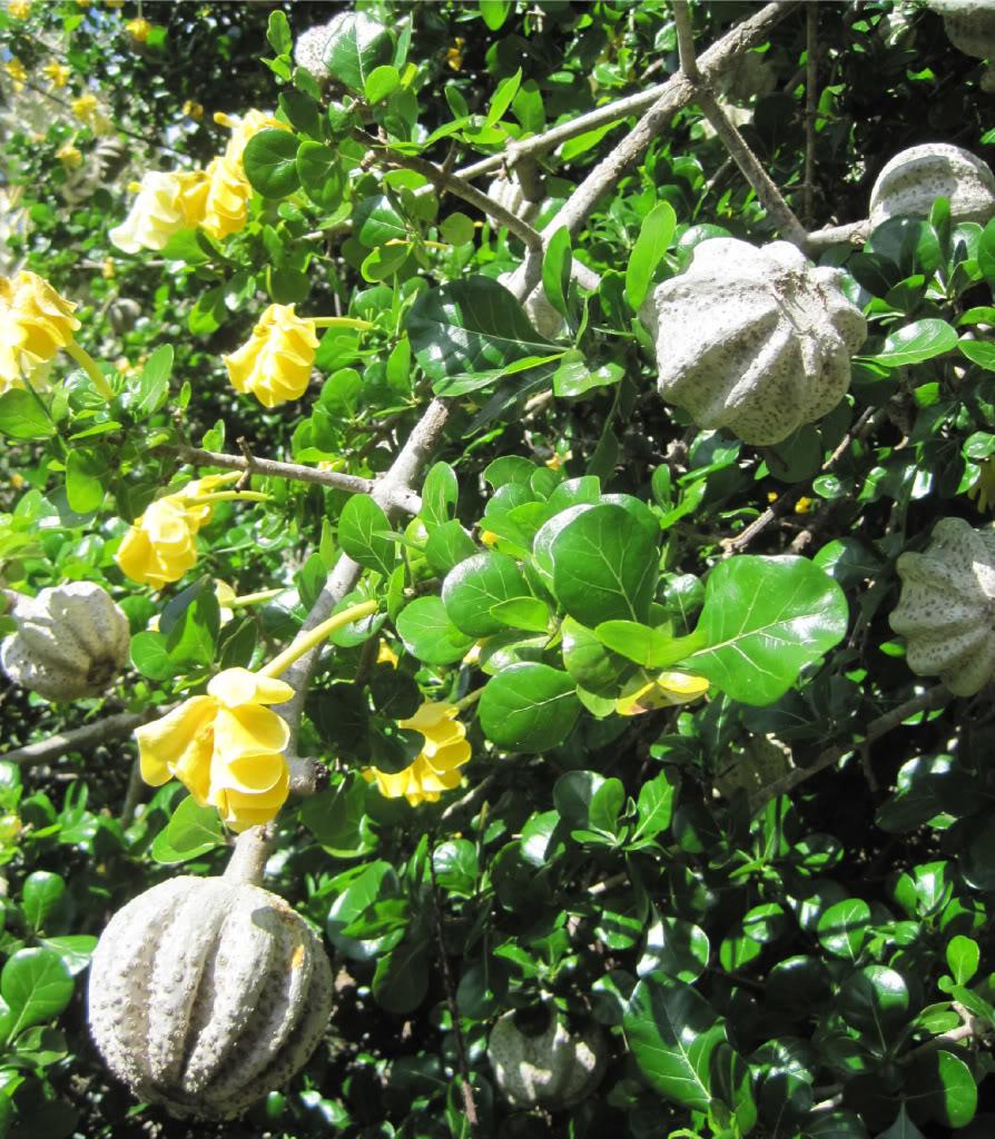 Transvaal Gardenia