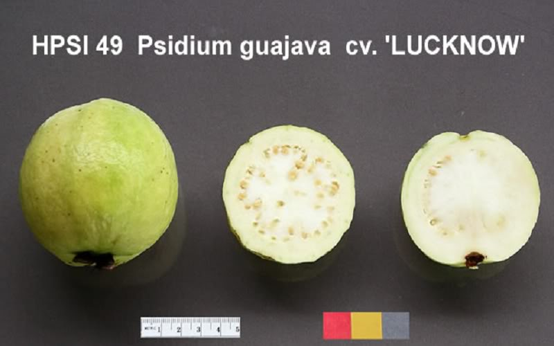 Polynesian Produce Stand : ~LUCKNOW 49~ WHITE GUAVA Fruit
