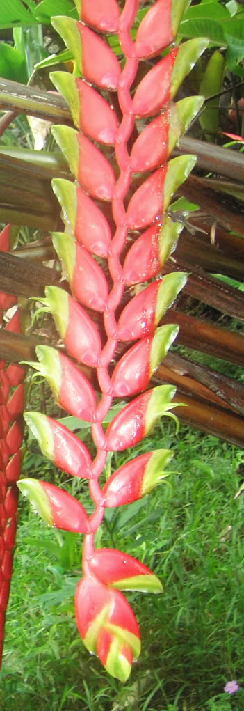 Heliconia Standleyi