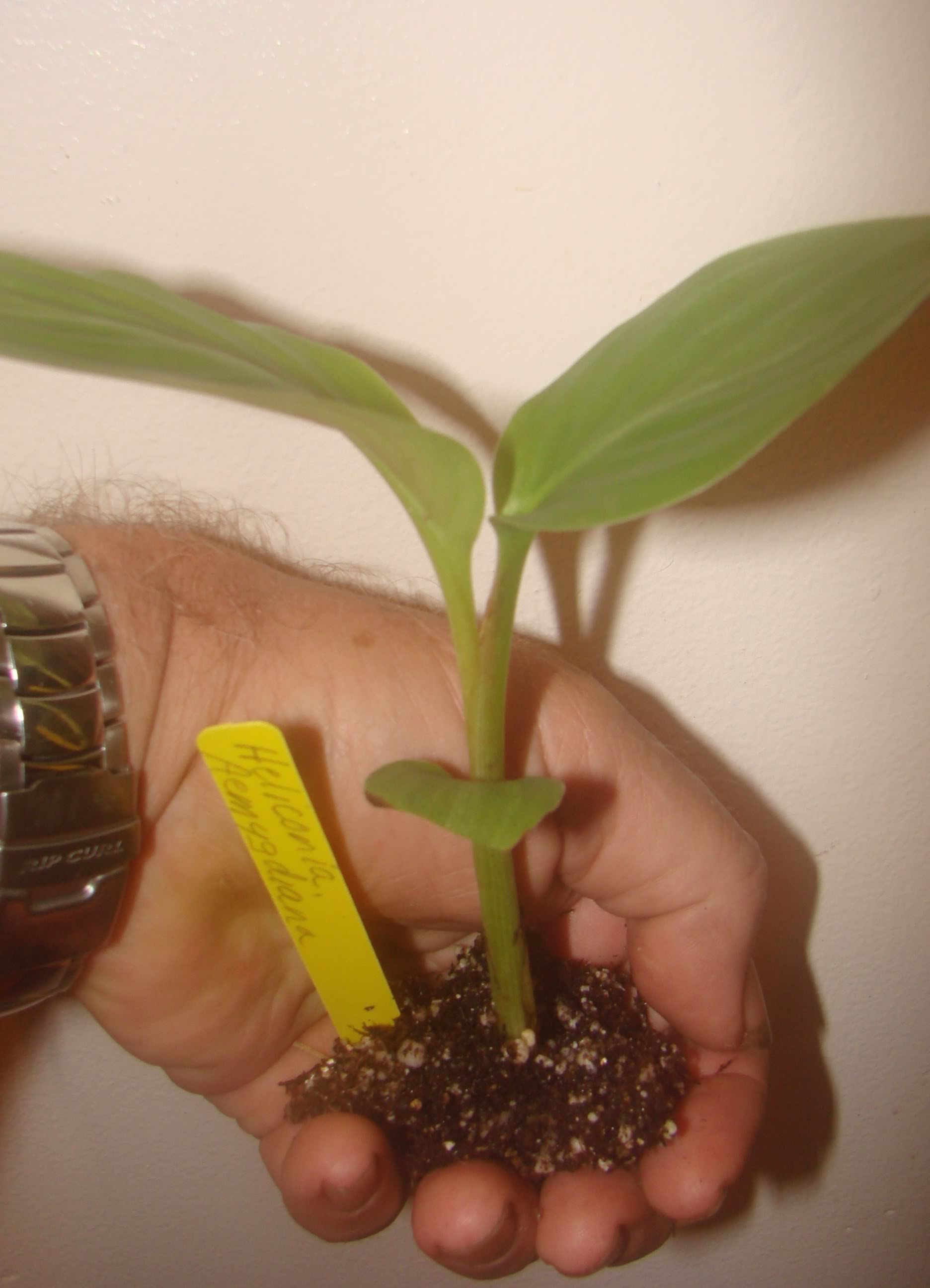photo of similar item  Heliconia Seedling for sale