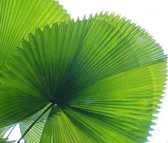 Polynesian Produce Stand Licuala Grandis Exotic Ruffled