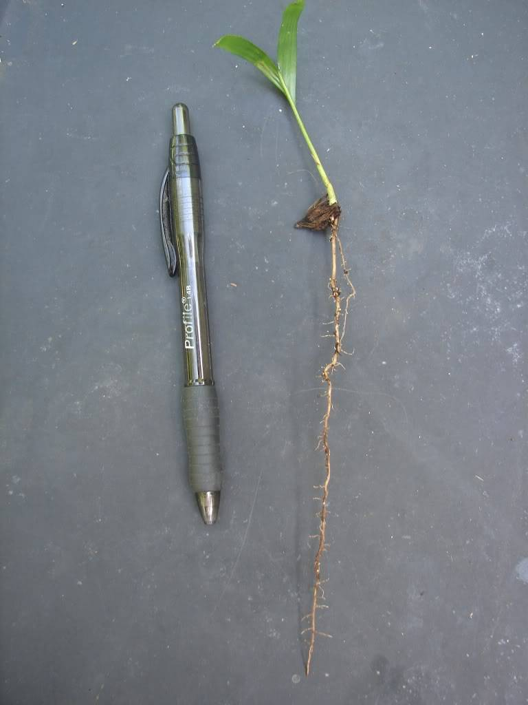 This small palm is a single seedling.