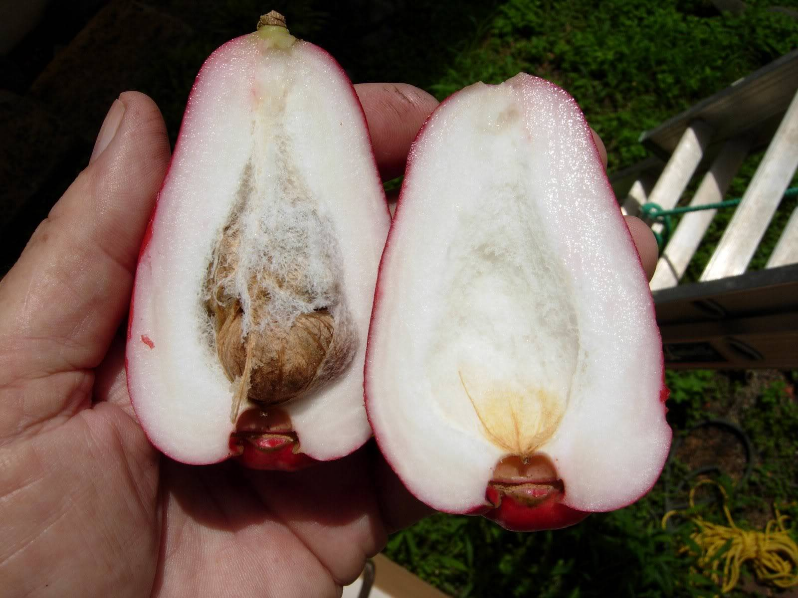 Red Mountain Apple.  Syzygium malaccense