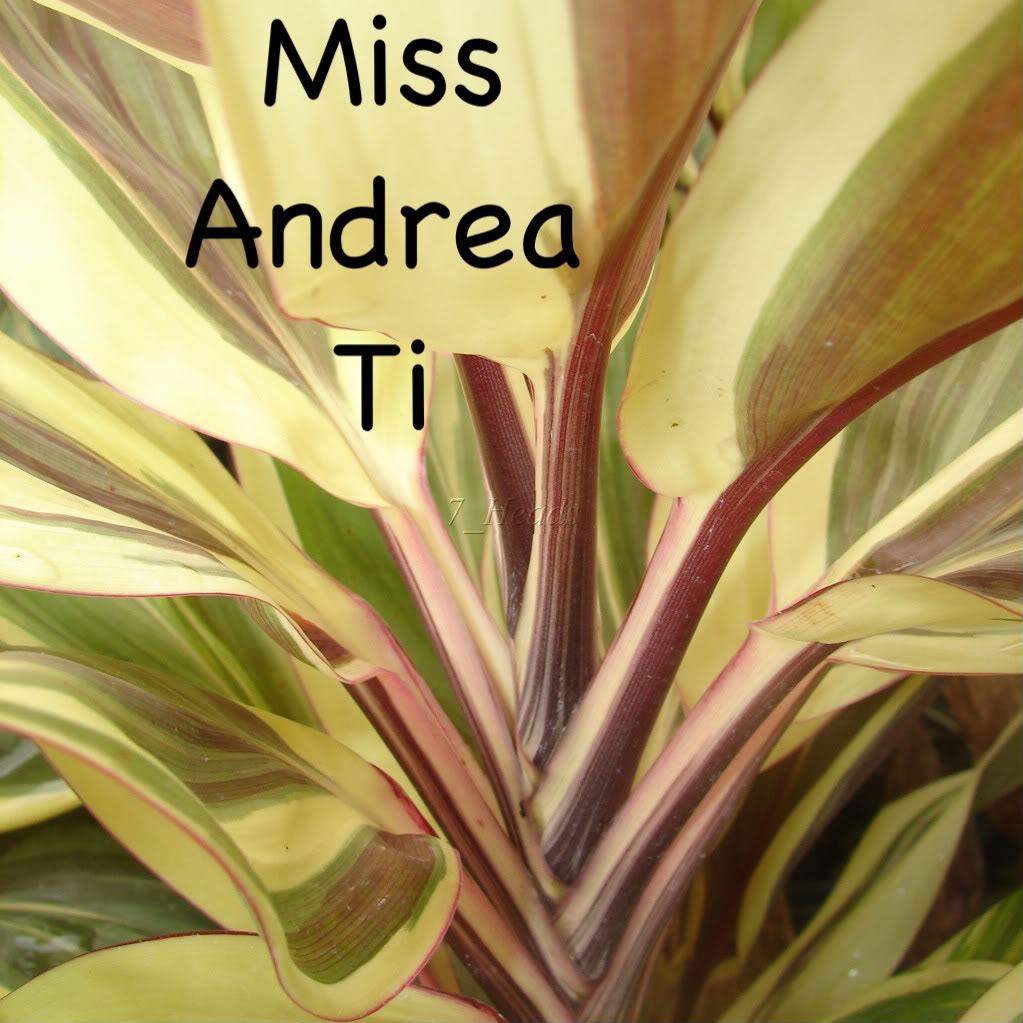 Miss Andrea Ti  picture by 7_Heads