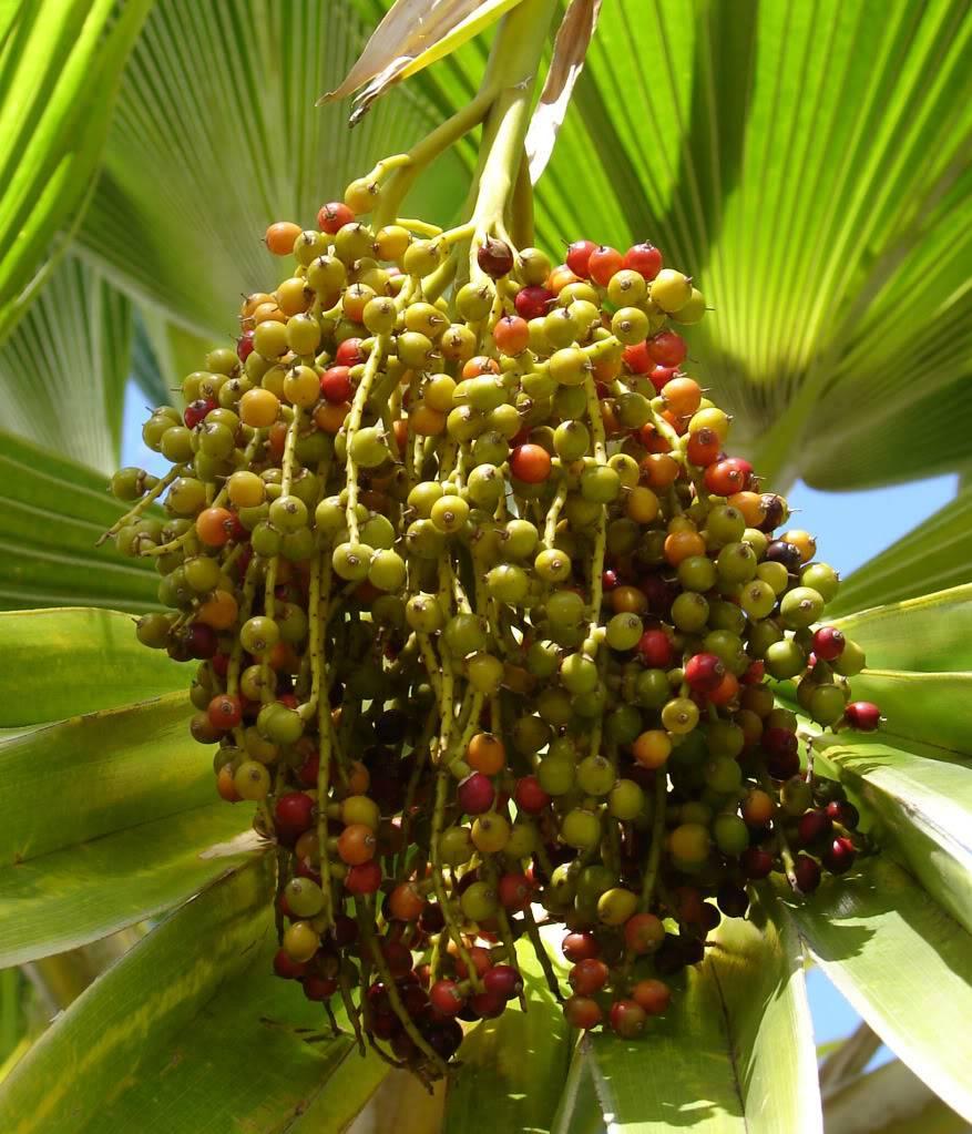 Outdoor Stand Fan Palm : Polynesian produce stand dwarf fiji fan palm pritchardia