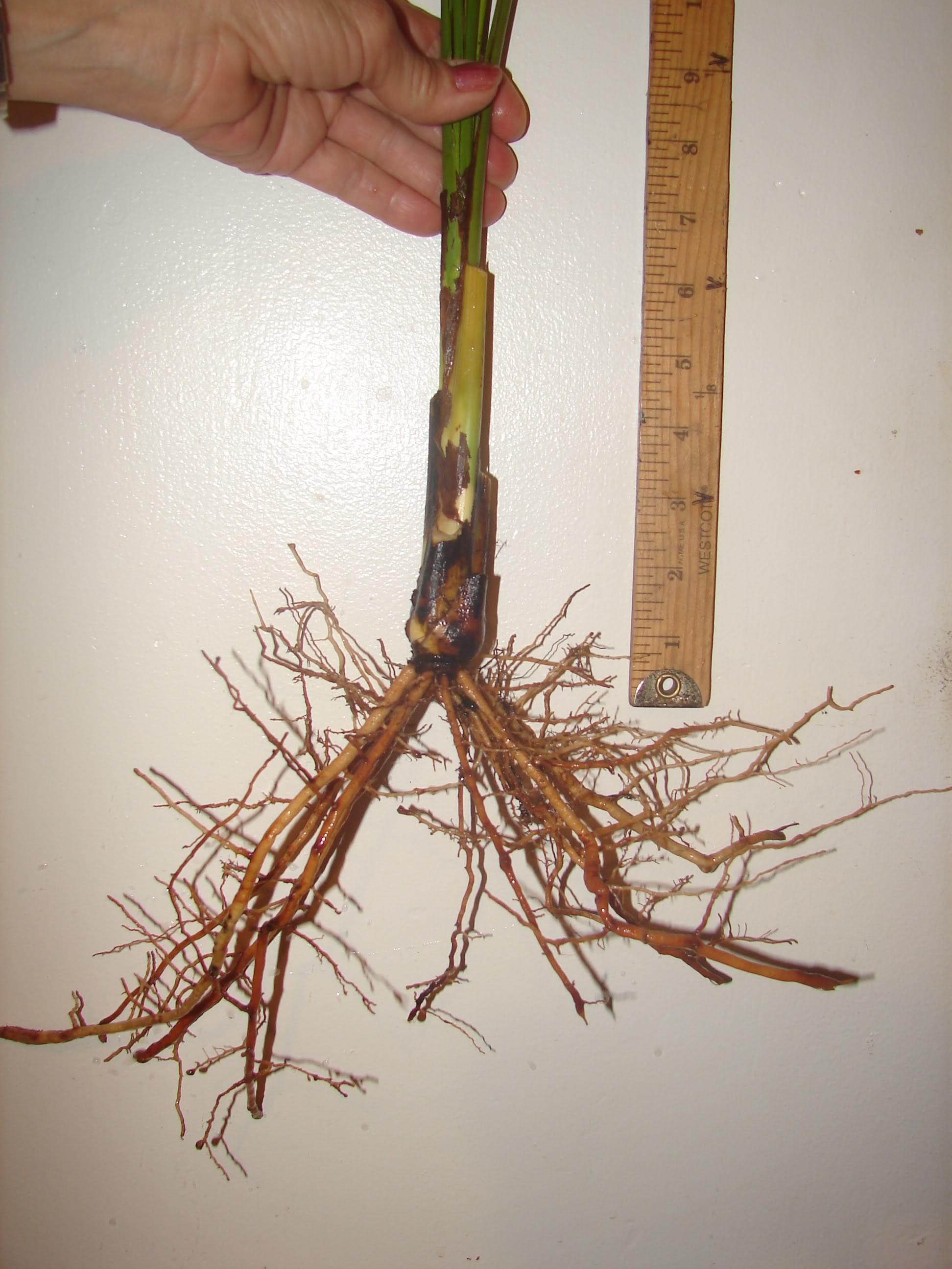 Phoenix sylvestris Seedlings offered for sale