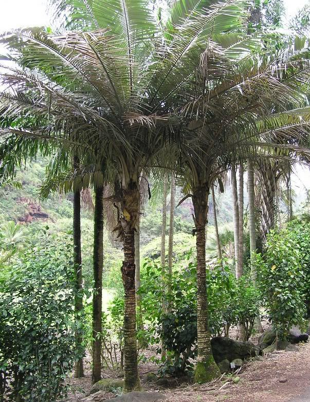 Buri Palm is undoubtedly one of the prettiest Brazilian palms.