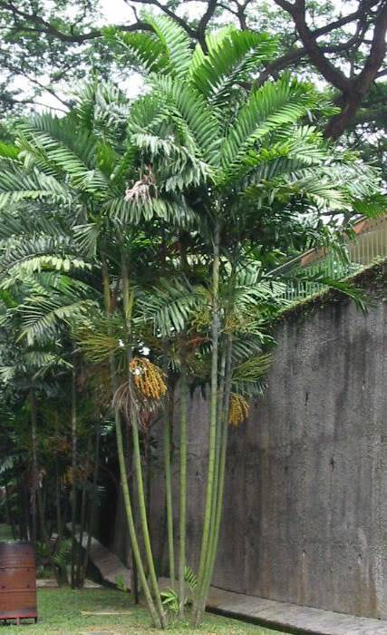 This attractive small palm is noted for its multiple, slim, ringed grey trunks which are topped with soft green, feathery, flat, broad leaves.