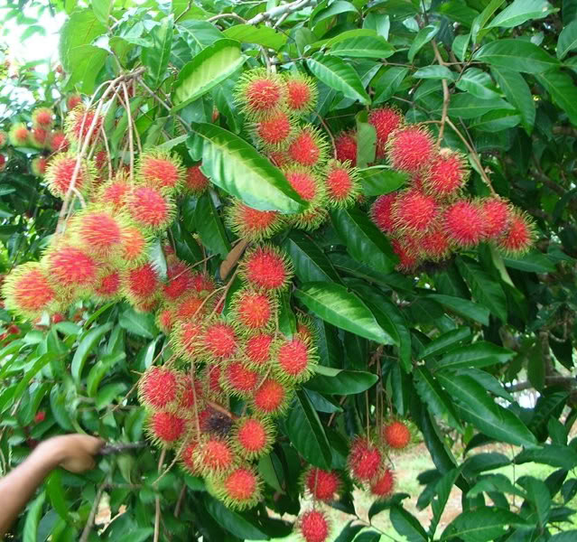 Polynesian produce stand red rambutan tropical fruit tree live seedling exotic nephelium lappaceum - Planting fruit trees in the fall a garden full of vigor ...