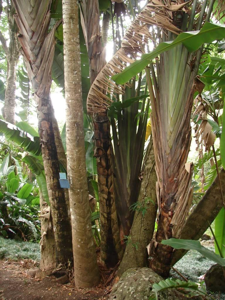 Outdoor Stand Fan Palm : Polynesian produce stand traveler s palm tree ravenala