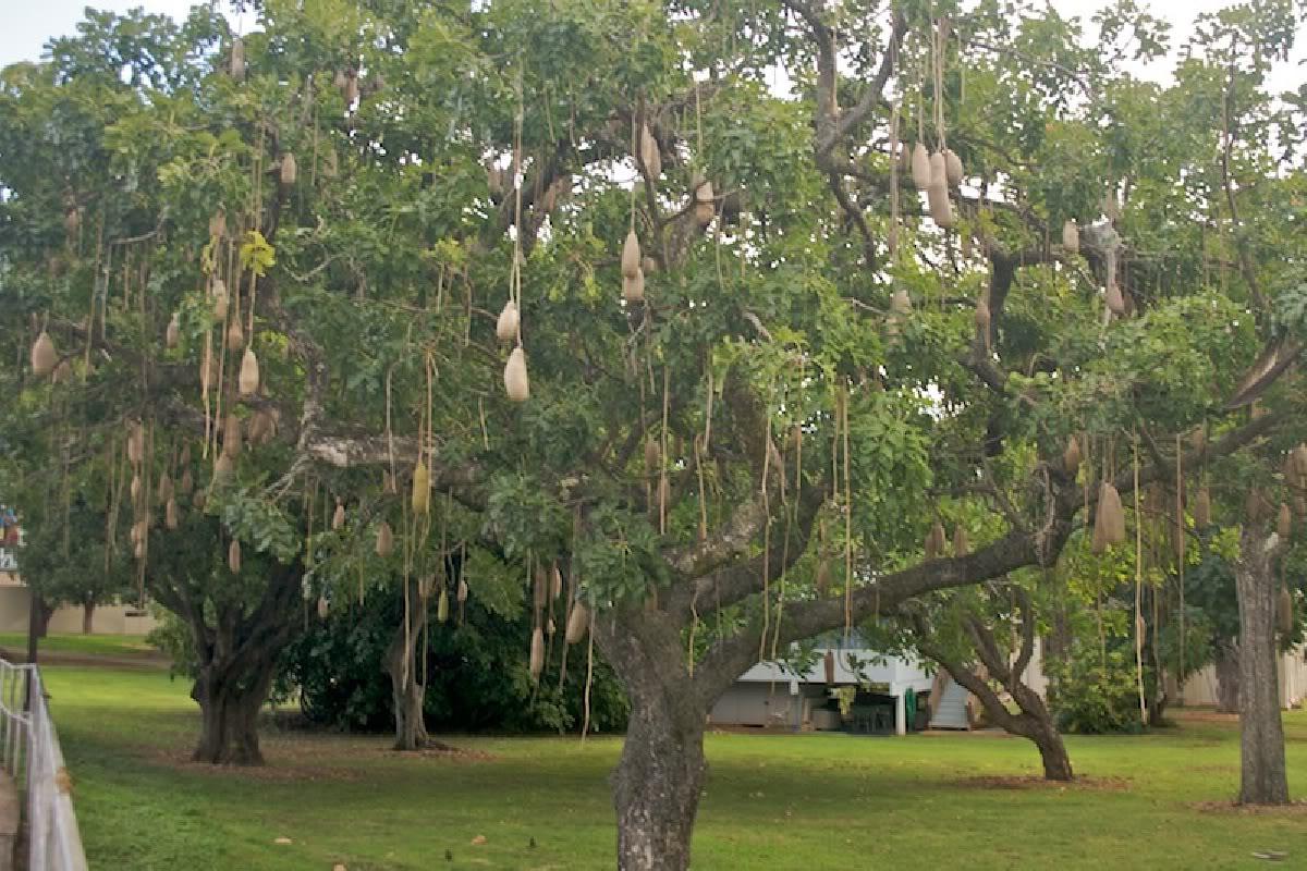 Sausage Tree Kigelia africana