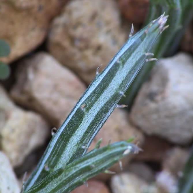 Senecio stapeliaeformis